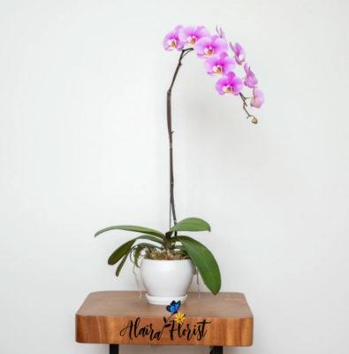 Anggrek Bulan Collection Alaira Florist